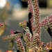 Cactus Wren In A Cactus by kerristephens