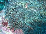 13th Feb 2011 - Anemone - check, anemone fish - check..... where's Nemo?