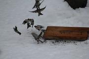 14th Feb 2011 - House finches!