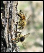 15th Feb 2011 - Honey, I shot the bees!
