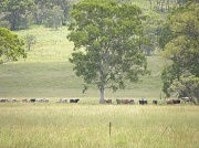 19th Feb 2011 - Where's that calf?