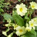 Early primroses by snowy