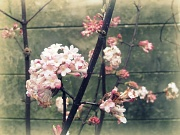 20th Feb 2011 - Winter blossom