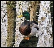 20th Feb 2011 - Duck, Duck, Goose?