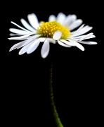 26th Feb 2011 - stolen daisy