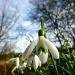 Snowdrops in the Sun by helenmoss