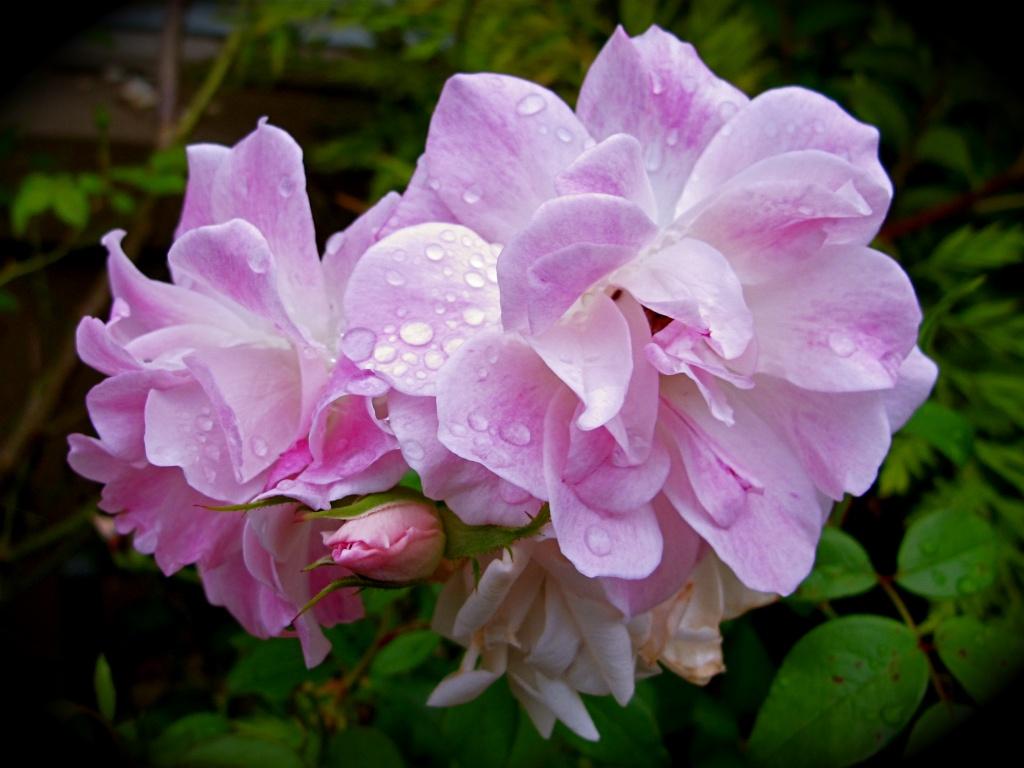 Rose by alia_801