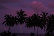 28th Feb 2011 - Purple - Alan's choice - palm trees after dark CI golf course