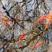 koi in the branches by aikimomm