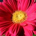 Gerber Daisy by lauriehiggins