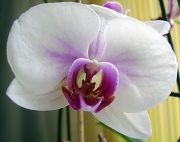 5th Mar 2011 - Orchid