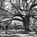 Live Oak by eudora