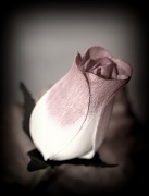 8th Mar 2011 - The Rose