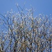 Pussy Willow by snowy