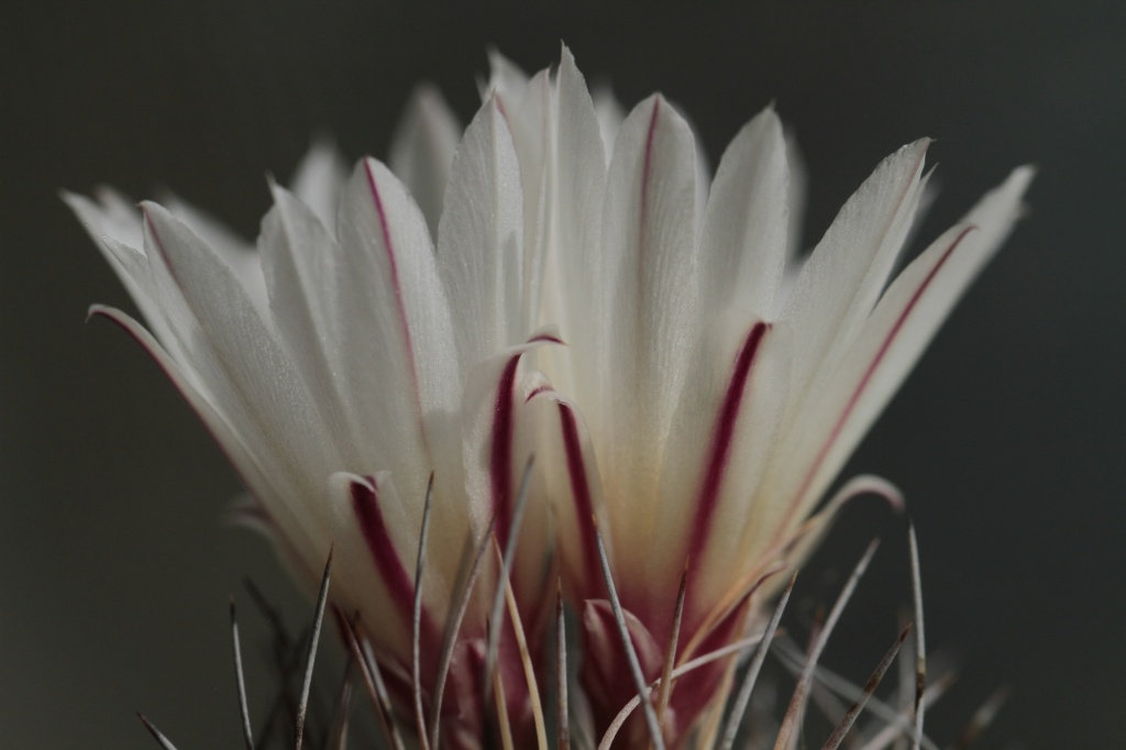 Cactus in Bloom by robv