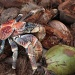 Robber crab on coconut pile (they are also known as coconut crabs and are capable of opening a coconut with those claws. by lbmcshutter