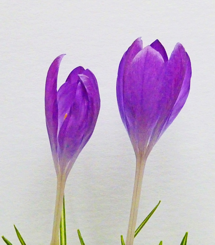 WATER COLOUR CROCUSES by phil_howcroft