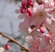 11th Mar 2011 - Blossom