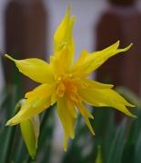 14th Mar 2011 - Daffodil