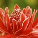 Pink Torch Ginger by bella_ss