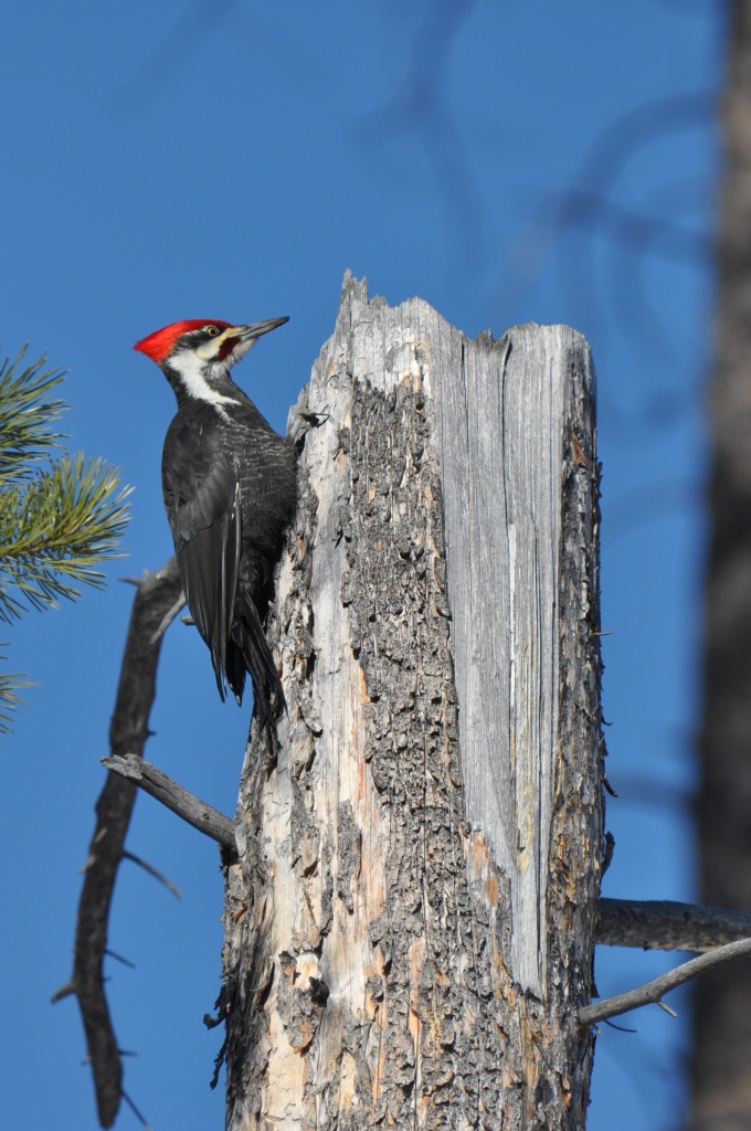 pileated woodpecker by mjalkotzy