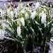 Snowflakes on Snowdrops on the First Day of Spring by lauriehiggins