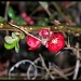 3-21-11 Flowering Quince by shantwin
