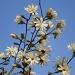 Magnolia stellata by snowy