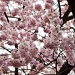 Cherry Blossoms by harvey