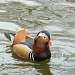 Mandarin duck  by dulciknit