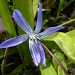 Early spring flower 3 - Scilla sibirica by pyrrhula