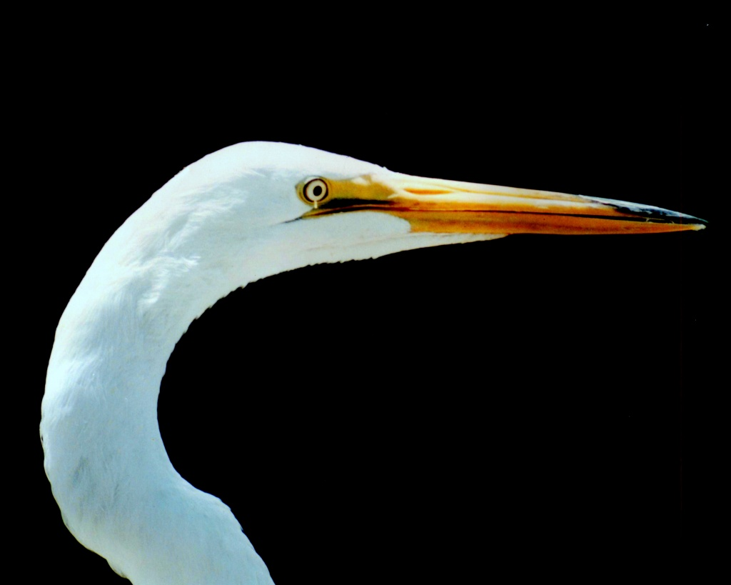 Profile of a Great White Egret by rrt