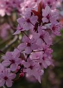 29th Mar 2011 - Blossom