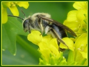 29th Mar 2011 - I never knew bees were so fuzzy!
