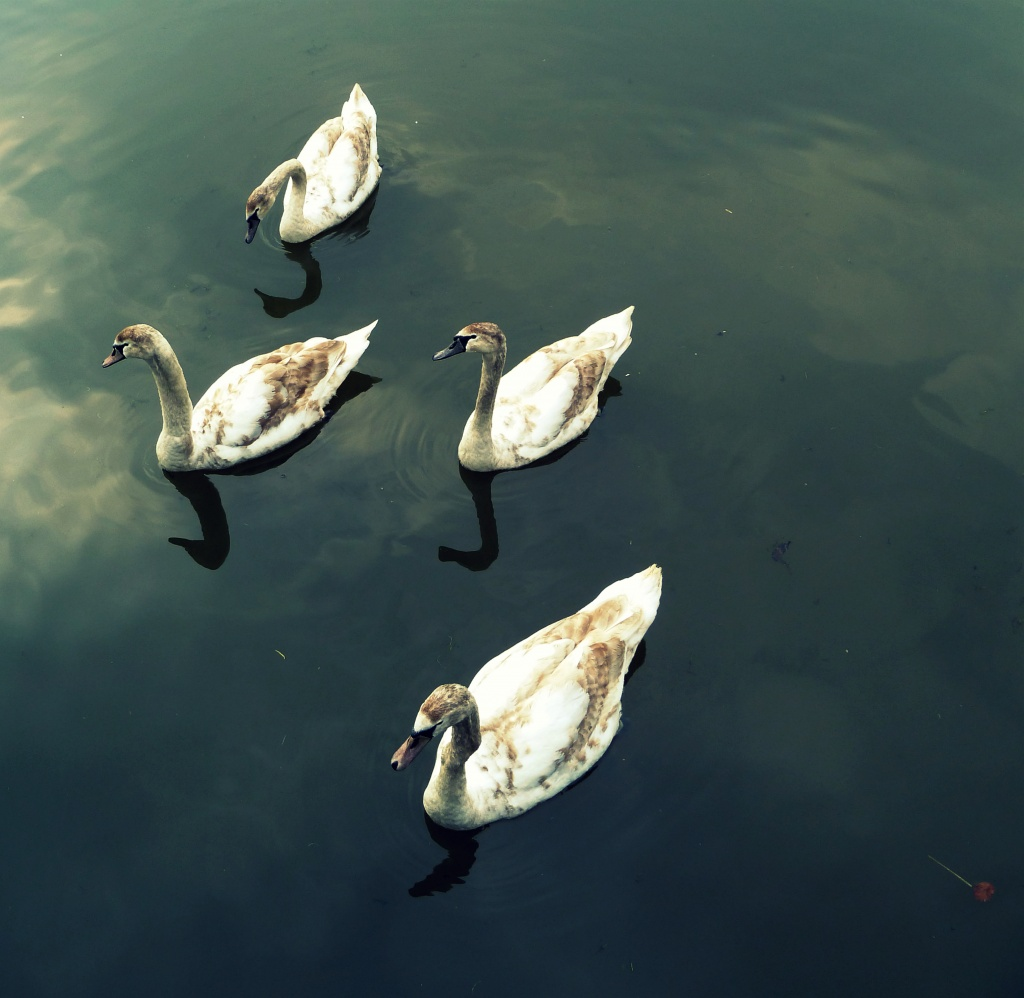 4 Swans-A-Swimming by rich57