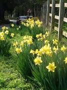 31st Mar 2011 - Daffodils by the wayside