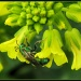 Green Bee by cjwhite