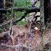Deer in Woods by lauriehiggins