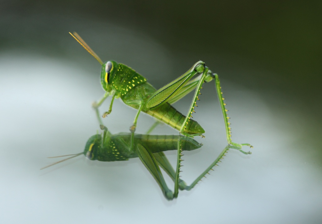 grasshopper admiring his reflection on my car windscreen by lbmcshutter