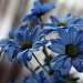 Blue Flowers by laurentye