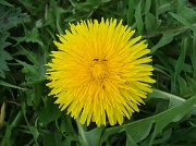 2nd Apr 2011 - Dandelion with bugs