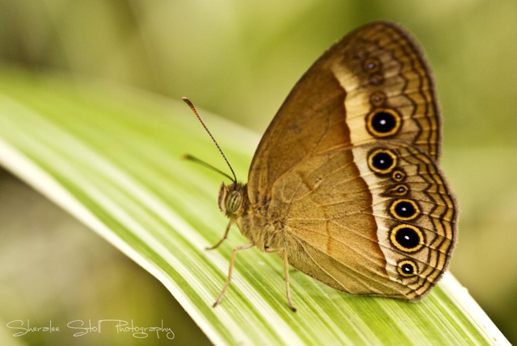 Orange Bush-Brown Butterfly (Mycalesis terminus) by bella_ss