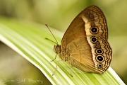 3rd Apr 2011 - Orange Bush-Brown Butterfly (Mycalesis terminus)