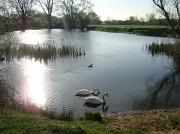 4th Apr 2011 - Swans