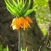Crown Imperial by helenmoss