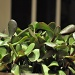 Jade plant by dora