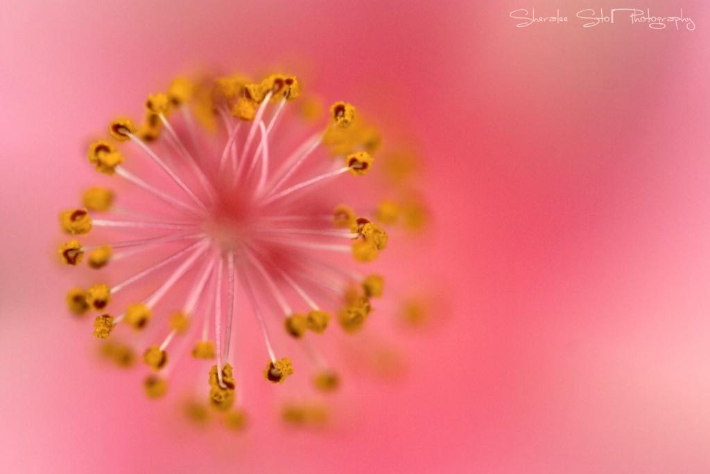 Hibiscus Starburst by bella_ss