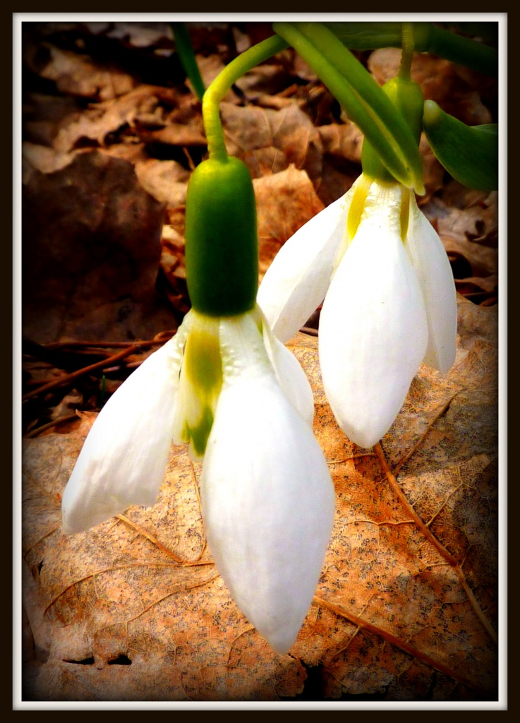 Snow Drops by denisedaly