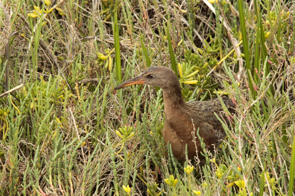 Light-footed Clapper Rail by robv