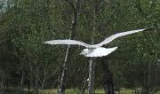 6th Apr 2011 - Seagull